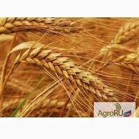 Кормовое зерно