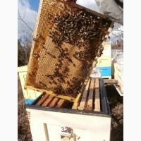 Продам пчелопакеты карпатских пчёл и карники (С-Петербург)