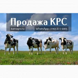Продажа племенных нетелей молочных пород КРС в Казахстане