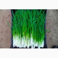 Продам зеленый лук-перо оптом