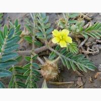 Якорцы стелющиеся (Трибулус) семена
