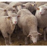 Постоянно покупаем овец живым весом