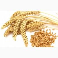 Семена озимых культур на с/х сезон 2020