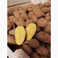 Продаём картофель в оптом от 20 тонн