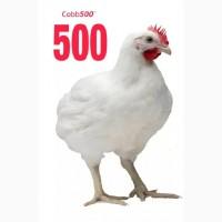 Инкубационное яйцо бройлера Кобб-500 оптом