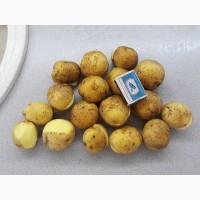 Картофель семенной сорт Тулеевский 1-ая репродукция