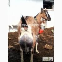 Альпийская молодая дойная коза