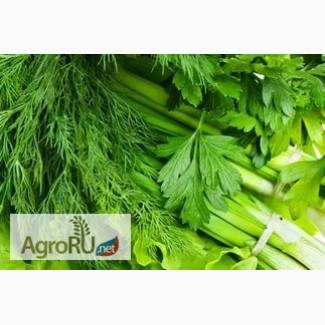 Продаю зелень (лук, укроп, петрушку, кинзу)