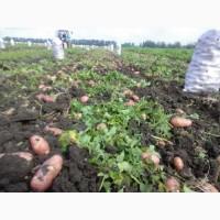 Картофель, урожай 2018