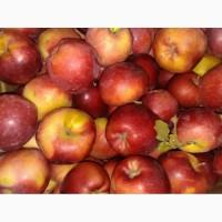 Яблоки 1 и 2 сорт оптом от КФХ в Ростове на дону