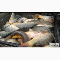 Продам. Живая рыба, малёк, навеской 300-350 грамм