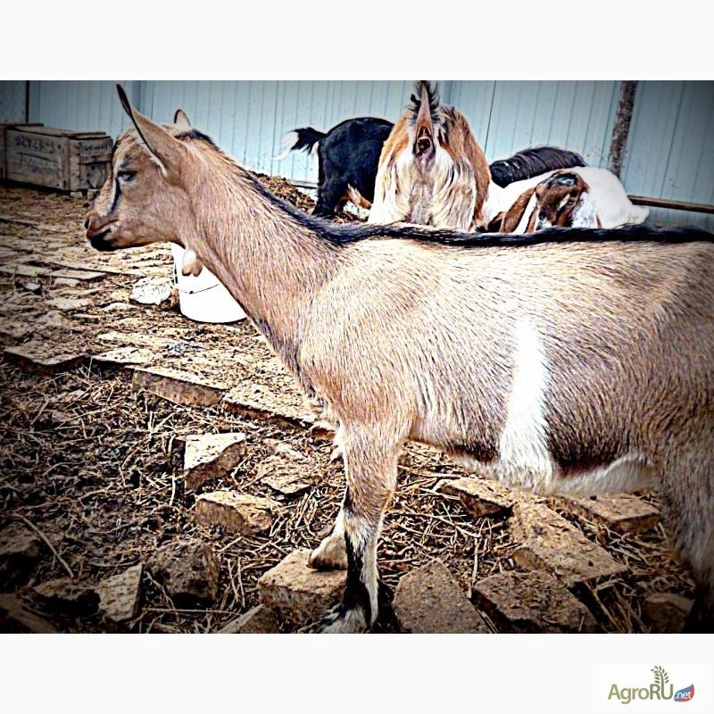фото рогов козы