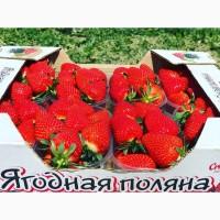 Крымская клубника оптом от 12 кг