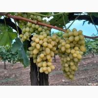 Продам виноград Августин (Плевен) опт, от производителя, цена договорная