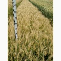 Семена озимой пшеницы элита сорт Гурт