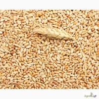 Пшеница отборная для проращивания