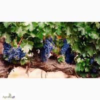 Продам виноград столовых и технических сортов