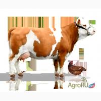 Продажа коров, нетелей