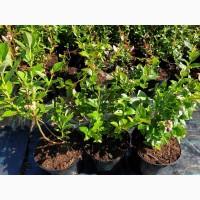 Саженцы голубики садовой оптом от производителя РБ
