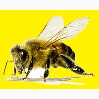 Пчёлы для лечения пчелиным ядом (СПб)