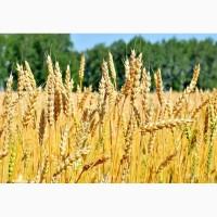 Семена озимой пшеницы элита сорт Баграт