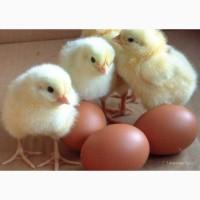 Инкубационное яйцо РОСС 308 и АРБОР АЙКРЕС
