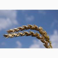 Семена озимой пшеницы сорт Граф