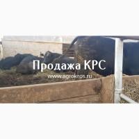Продажа КРС оптом по России Молочные породы КРС Продажа племенных нетелей