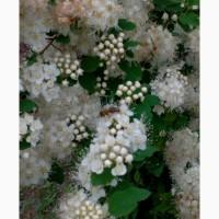 Пчелопакеты Краинка Карпатка Санкт-Петербург