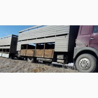 Скотовозы перевозка скота Тюмень 89058258837