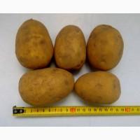 Картофель продовольственный Гала 5+ оптом от производителя РБ