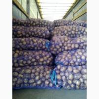 Картофель оптом 5+ от производителя Гала
