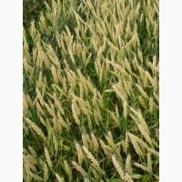 Семена озимой пшеницы элита сорт Гром
