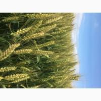 Семена озимой мягкой пшеницы сорт Станичная ЭС/РС1/РС2