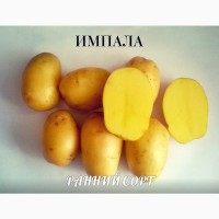 Семенной картофель Импала