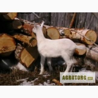 Породистые полу- зааненские козлята - недорого