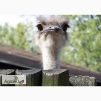 Экскурсия на страусиную ферму МакСтраус