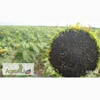 Семена подсолнечника ПИОНЕР ПР64Ф66 (PR64F66)