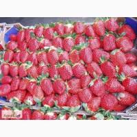 Продам рассаду земляники садовой (клубники) Кокинская заря (с 15 августа 2017)