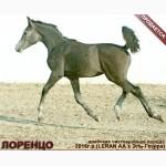 Продается арабский жеребчик ЛОРЕНЦО