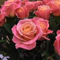 Саженцы роз, сорт Мисс Пигги. Новинка