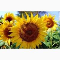 Гибриды семена подсолнечника НК Неома (Сингента, Syngenta) (Clearfield)
