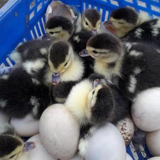 Утка - птенцы, яйца инкубационные и диетические, мясо