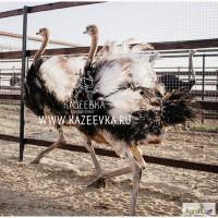 Продам страуса африканского
