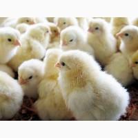 Цыплята Бройлера Кобб 500 Чехия