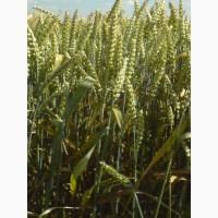 Семена озимой пшеницы сорт Юка ЭС/(РС1)