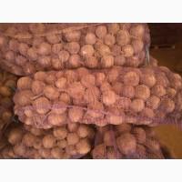 Продаём свеклу столовую, сорт Каскад, оптом от фермера