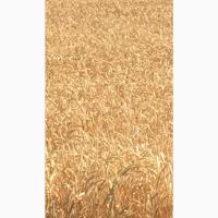 Семена озимой мягкой пшеницы Капризуля ЭС
