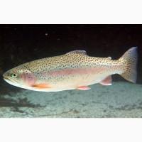 Продам живую рыбу Форель (0, 8-0, 9) в Москве