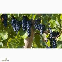 Продам черенки зимостойкого винограда